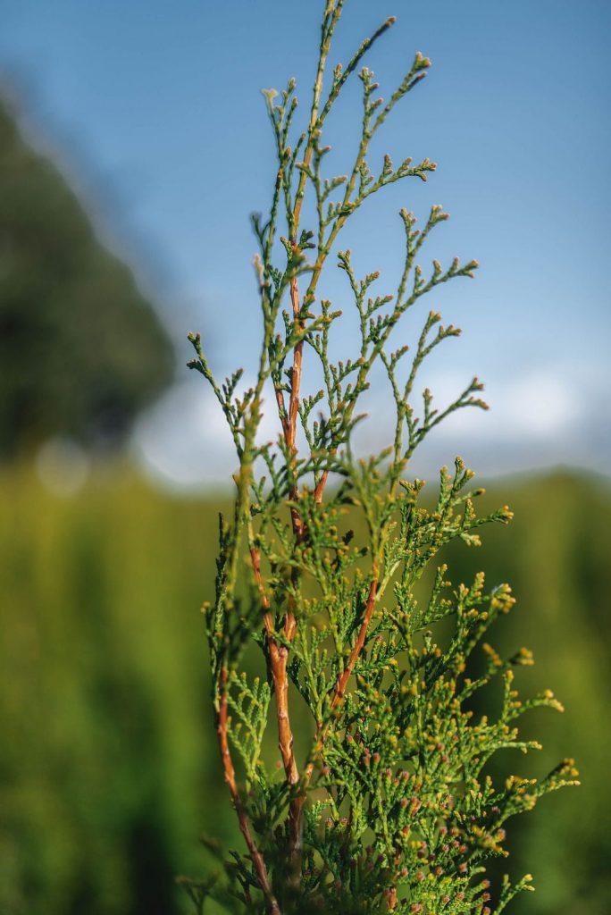 FVC fraser vallley cedars 042 trees vancouver
