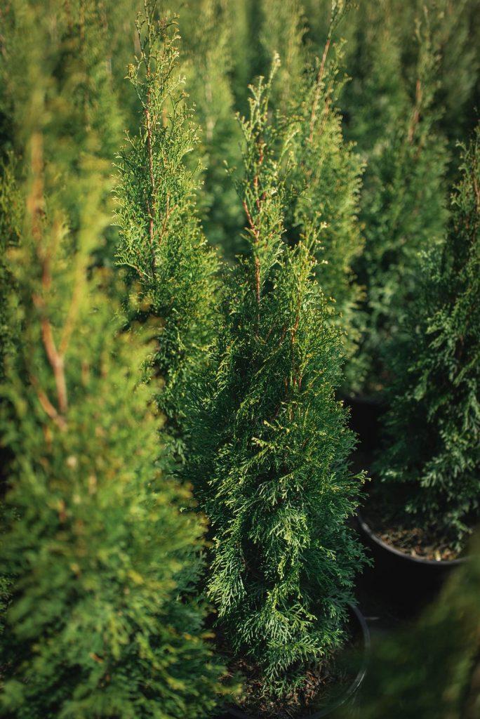 FVC fraser vallley cedars 043 trees vancouver