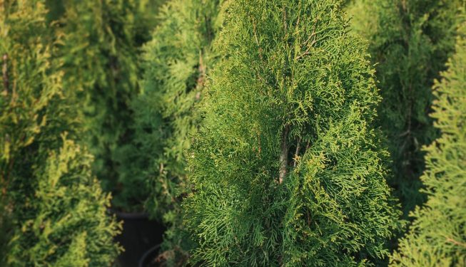 FVC fraser vallley cedars 044 trees vancouver