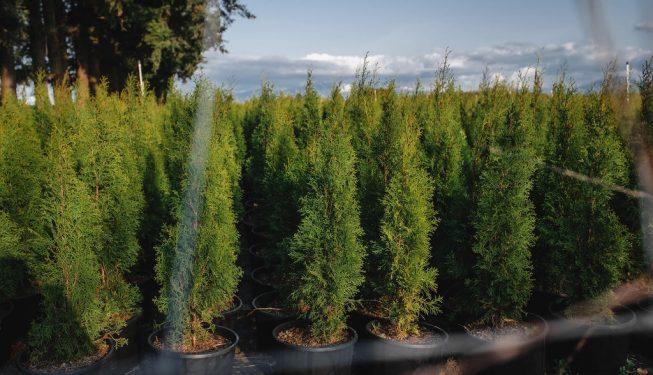 FVC fraser vallley cedars 047 trees vancouver