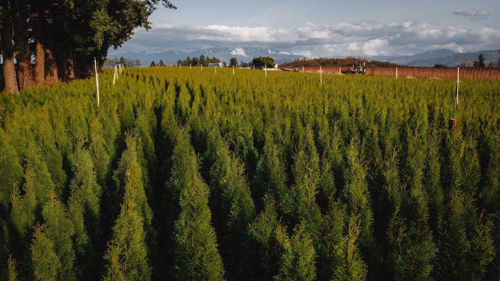 FVC fraser vallley cedars 048 trees vancouver