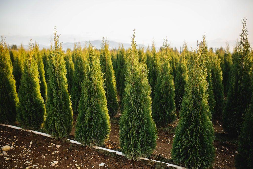FVC fraser vallley cedars 049 trees vancouver