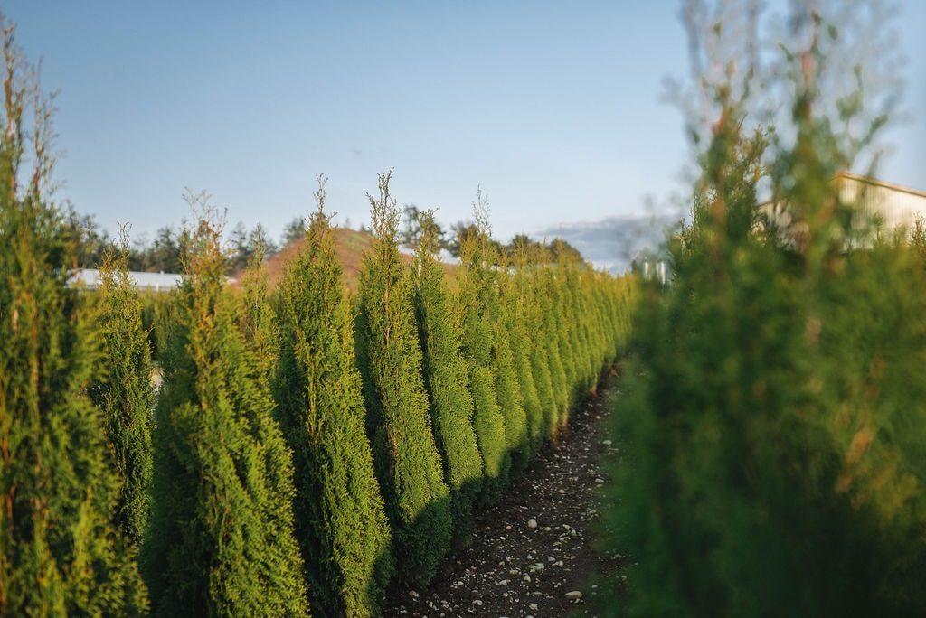 FVC fraser vallley cedars 050 trees vancouver