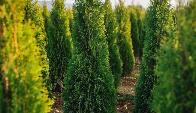 FVC fraser vallley cedars 051 trees vancouver