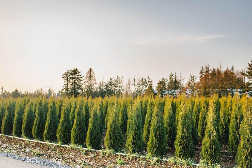 FVC fraser vallley cedars 052 trees vancouver