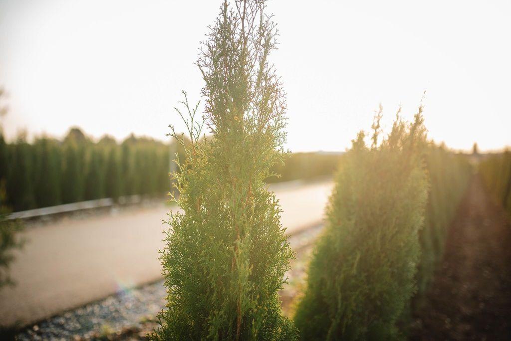 FVC fraser vallley cedars 053 trees vancouver