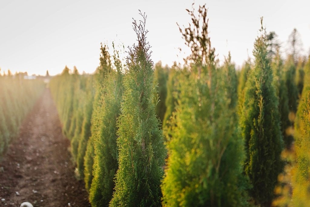 FVC fraser vallley cedars 054 trees vancouver