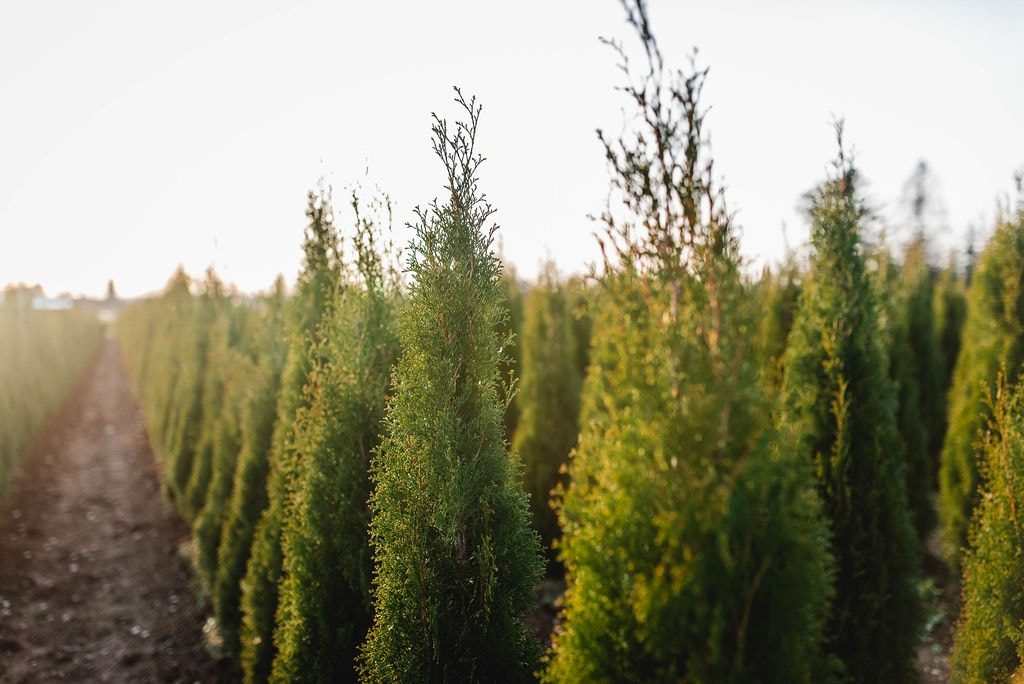 FVC fraser vallley cedars 055 trees vancouver