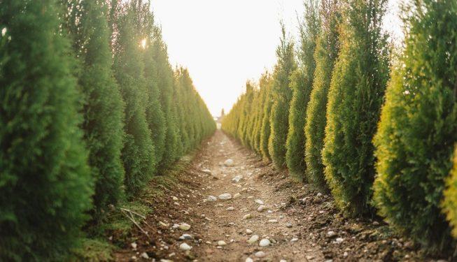 FVC fraser vallley cedars 056 trees vancouver