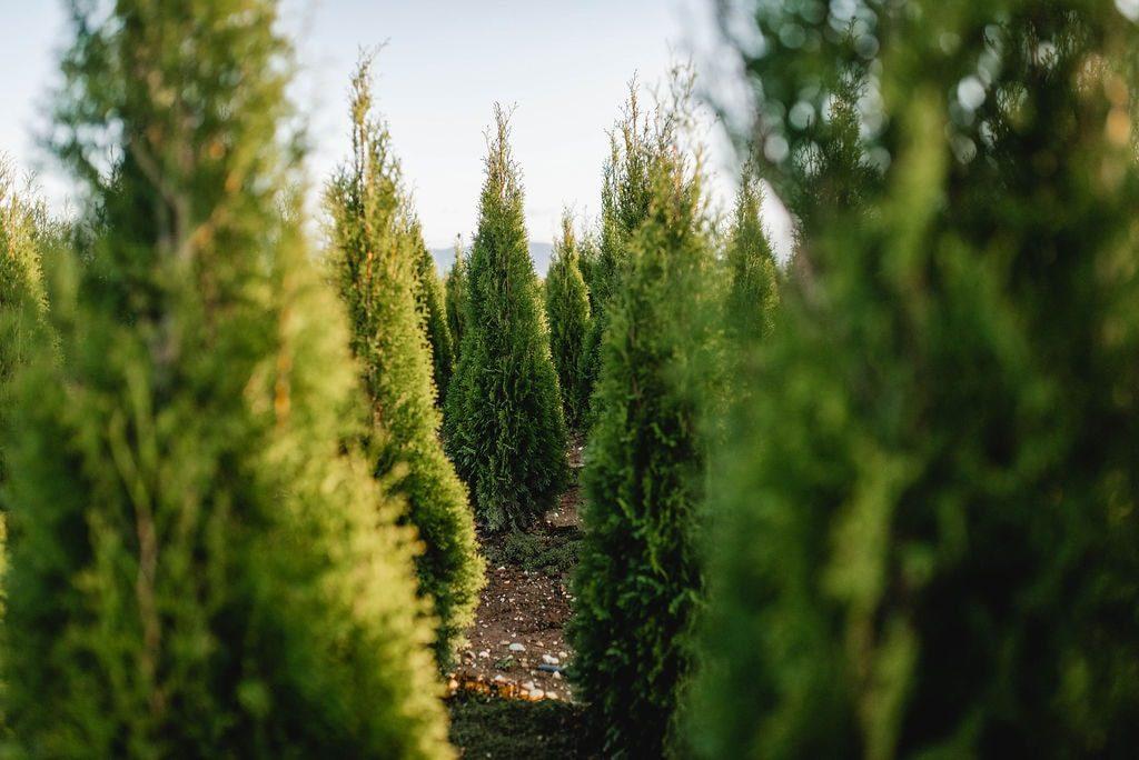 FVC fraser vallley cedars 057 trees vancouver