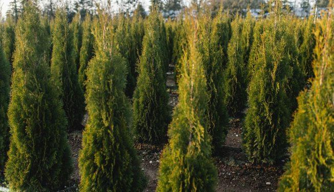 FVC fraser vallley cedars 058 trees vancouver