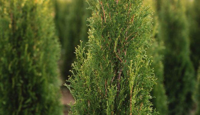 FVC fraser vallley cedars 059 trees vancouver