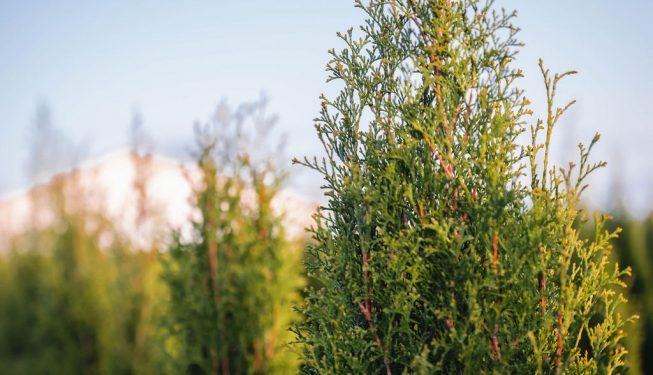 FVC fraser vallley cedars 060 trees vancouver