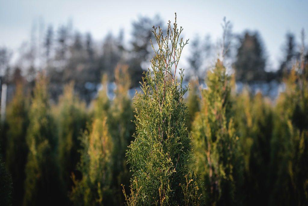 FVC fraser vallley cedars 061 trees vancouver