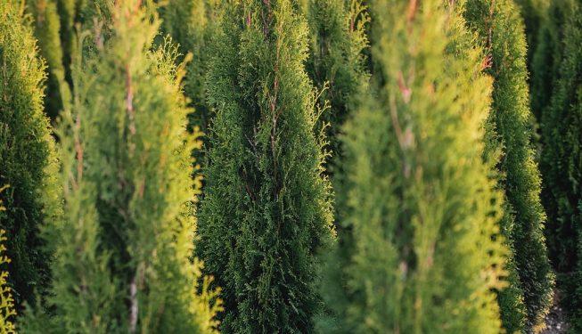 FVC fraser vallley cedars 062 trees vancouver