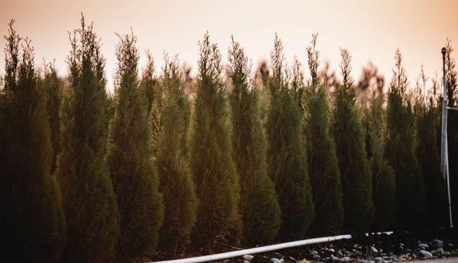 FVC fraser vallley cedars 063 trees vancouver