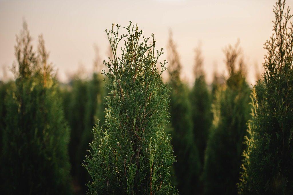 FVC fraser vallley cedars 064 trees vancouver