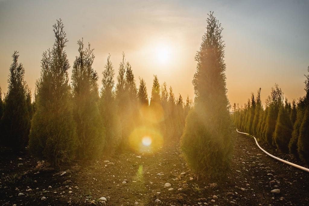 FVC fraser vallley cedars 065 trees vancouver