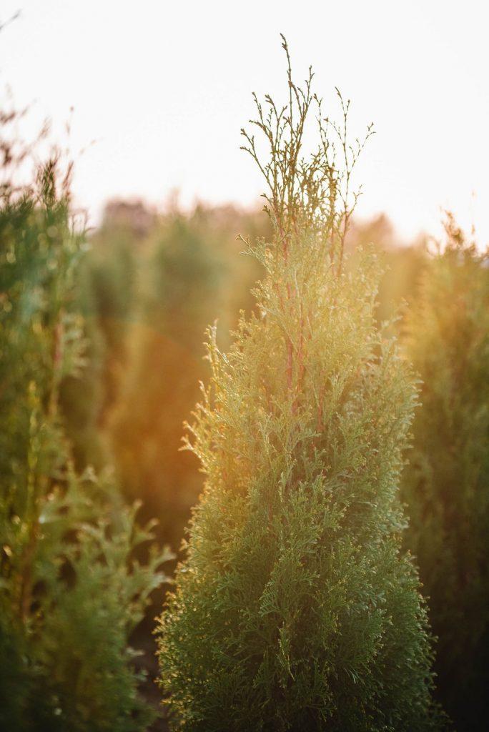 FVC fraser vallley cedars 066 trees vancouver