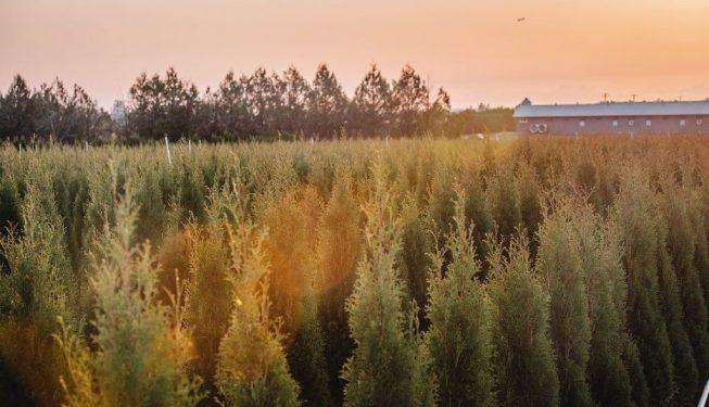 FVC fraser vallley cedars 067 trees vancouver