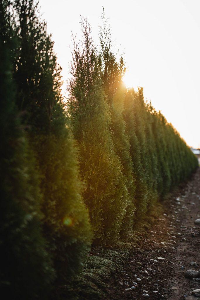 FVC fraser vallley cedars 070 trees vancouver
