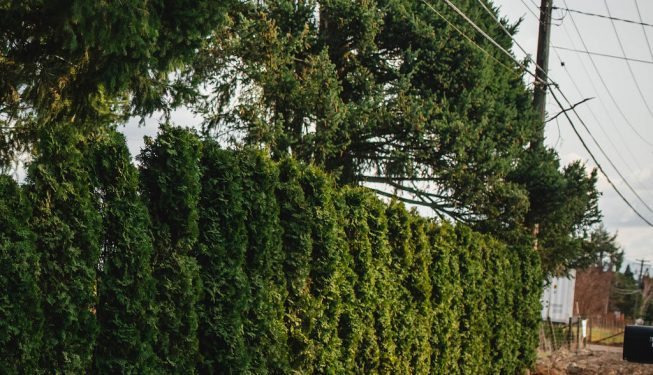 FVC fraser vallley cedars 076 trees vancouver