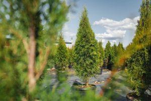 closer trees fraser valley cedars min