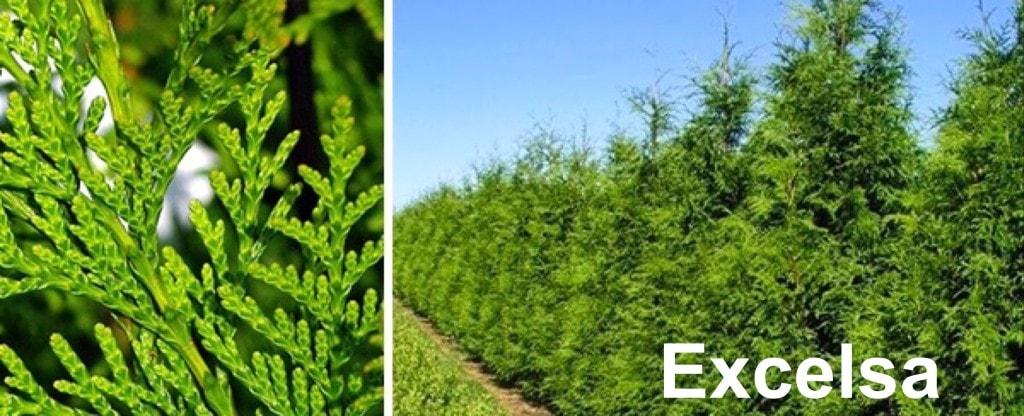 fraser valley cedars varieties Excelsa Cedar