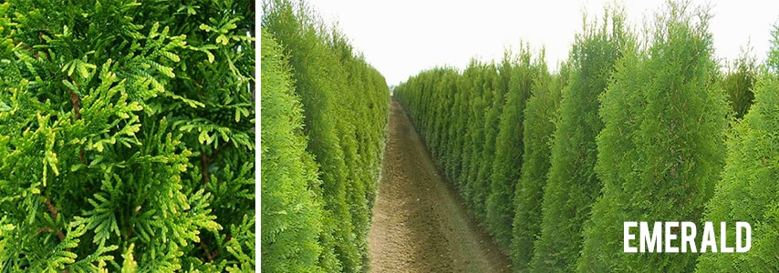 fraser valley cedars varieties emerald green arborvitae
