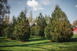 landscaping trees fraser valley cedars min