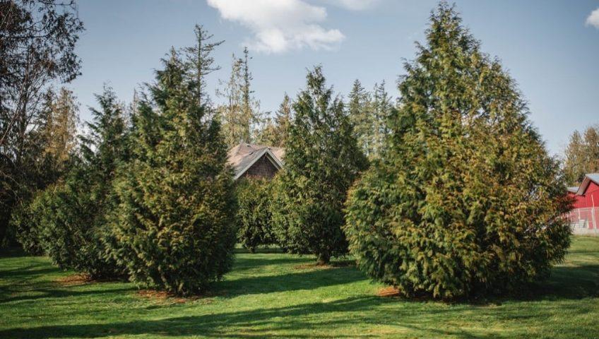 landscaping trees fraser valley cedars min