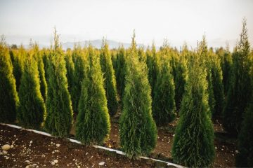 About Our Cedar Trees