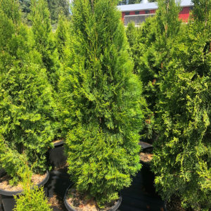 FVC fraser valley cedar emerald 4ft 01