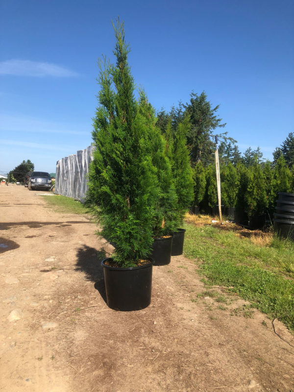 FVC fraser valley cedar emerald 5ft 01