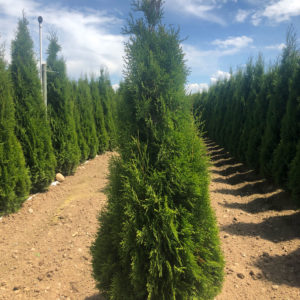 fraser valley cedar emerald 4ft fieldgrown 01