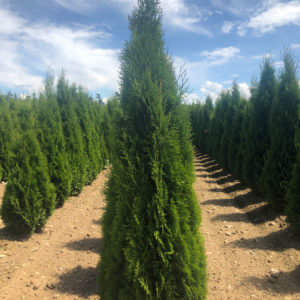 fraser valley cedar emerald 5ft fieldgrown 01