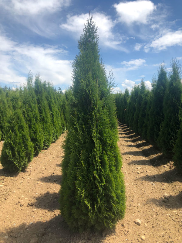 fraser valley cedar emerald 5ft fieldgrown 01