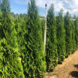 fraser valley cedar emerald 6ft fieldgrown 01