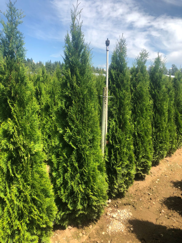 fraser valley cedar emerald 6ft fieldgrown 01