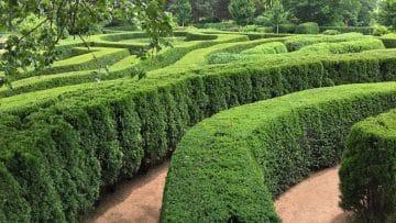 Dying Cedar hedge maze in a public garden