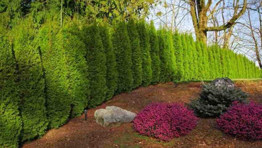 Cedar hedges in backyard