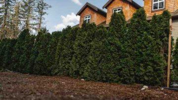 cedar trees grow best