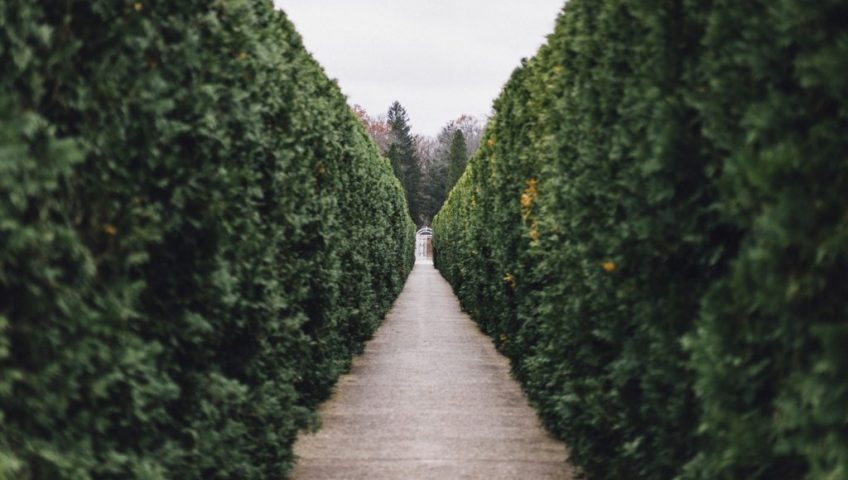 Tall cedar hedges growing thicker